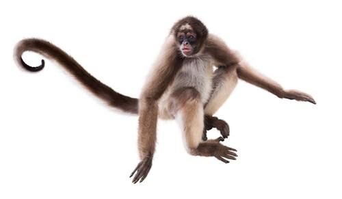 Un mono araña sobre fondo blanco.