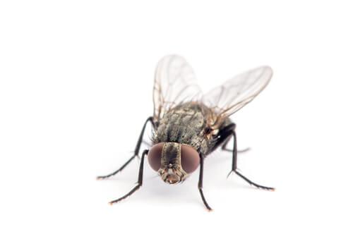 El ciclo de vida de la mosca doméstica