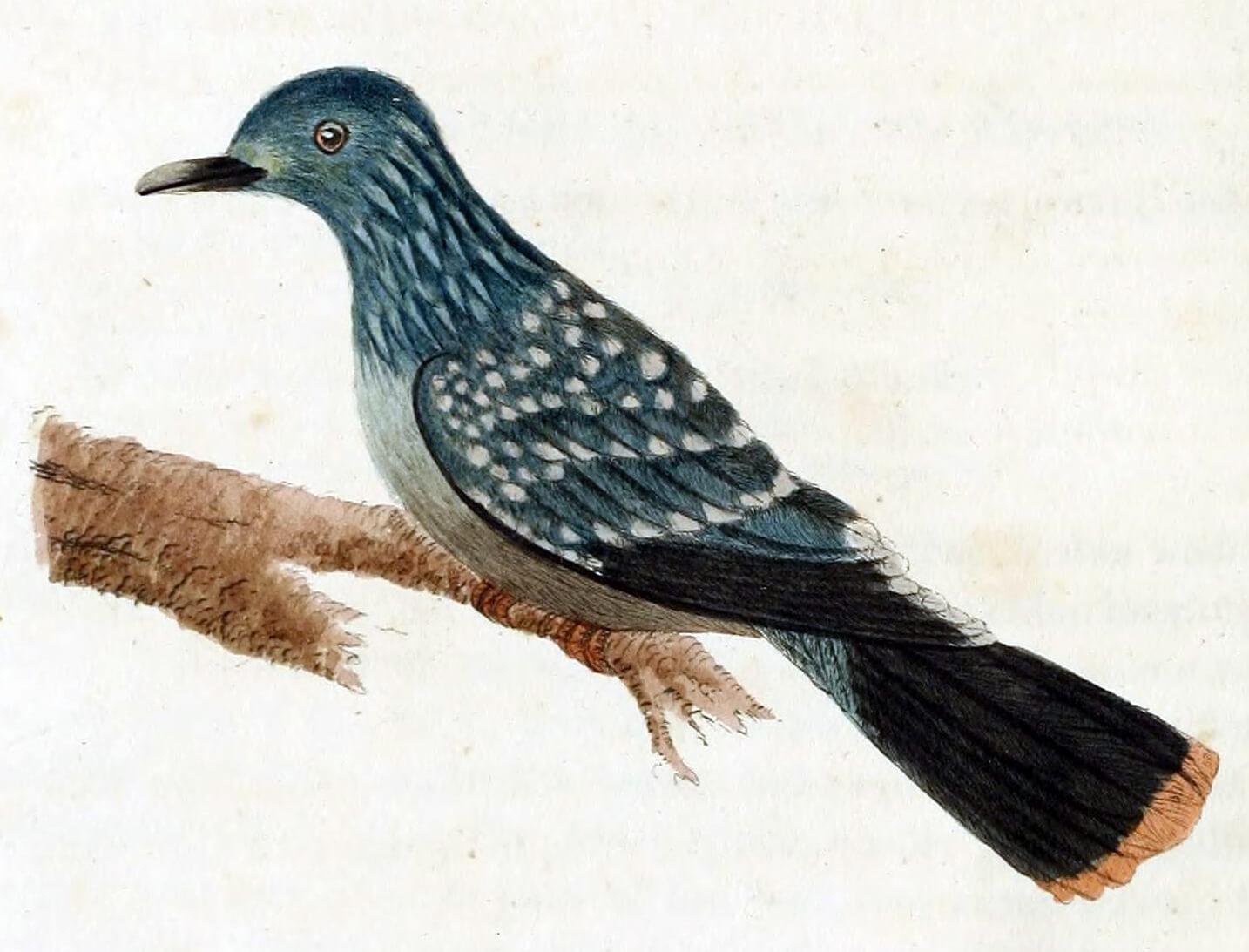 Dibujo de paloma de liverpool juvenil.