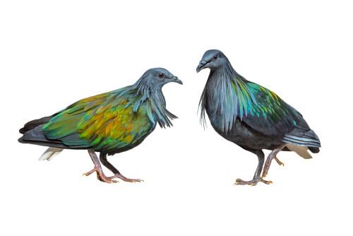 Dos palomas nicobar dibujadas.