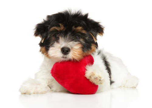 Perro sujetando un peluche de corazón.