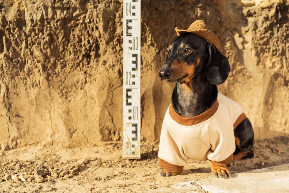 Un perro disfrazado de arqueólogo.