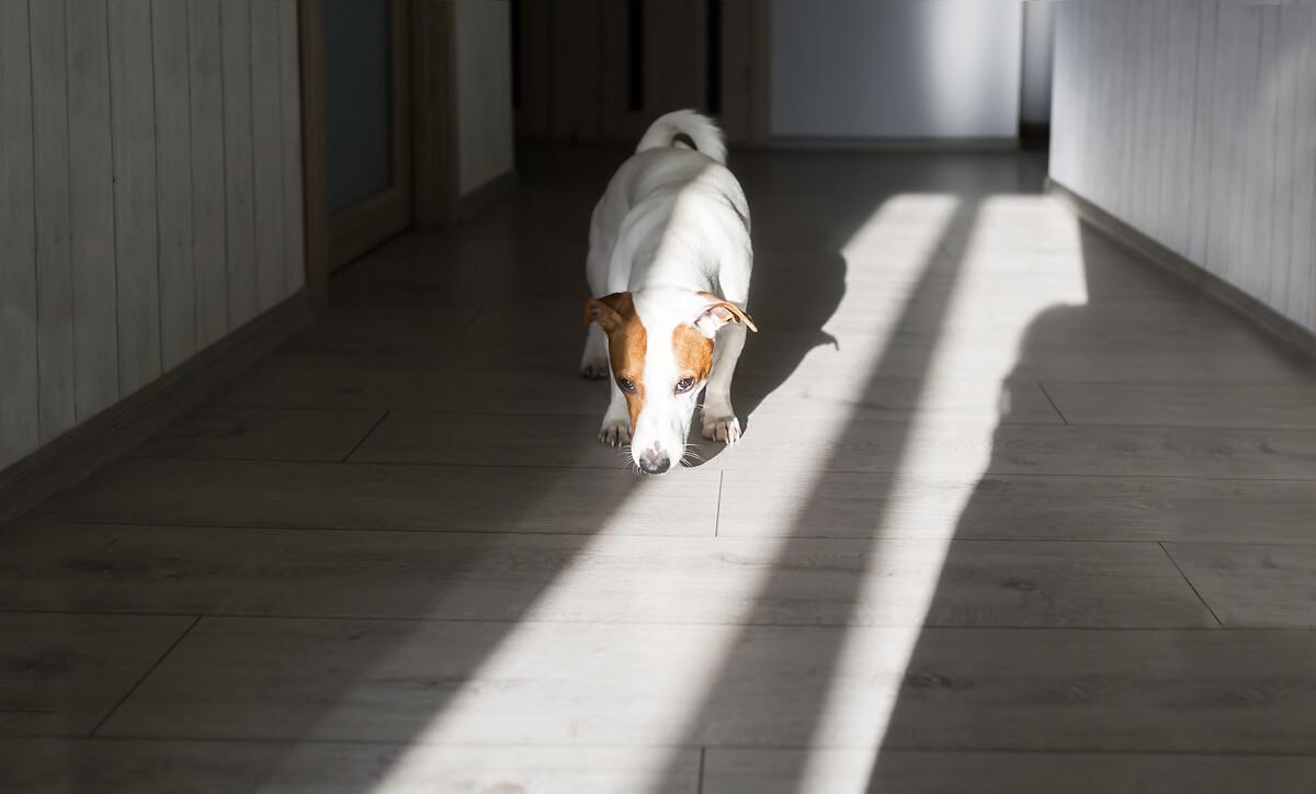 Un perro oliendo el suelo de su casa.
