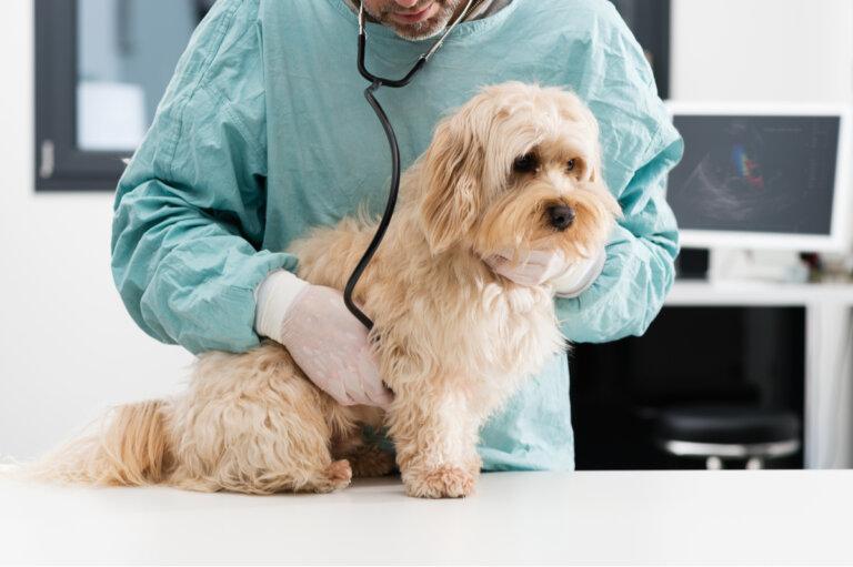 Mastocitosis, el cáncer más común en perros