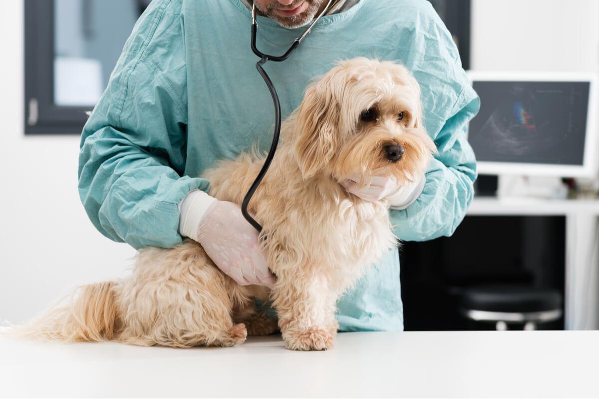 Un perro triste en el veterinario.