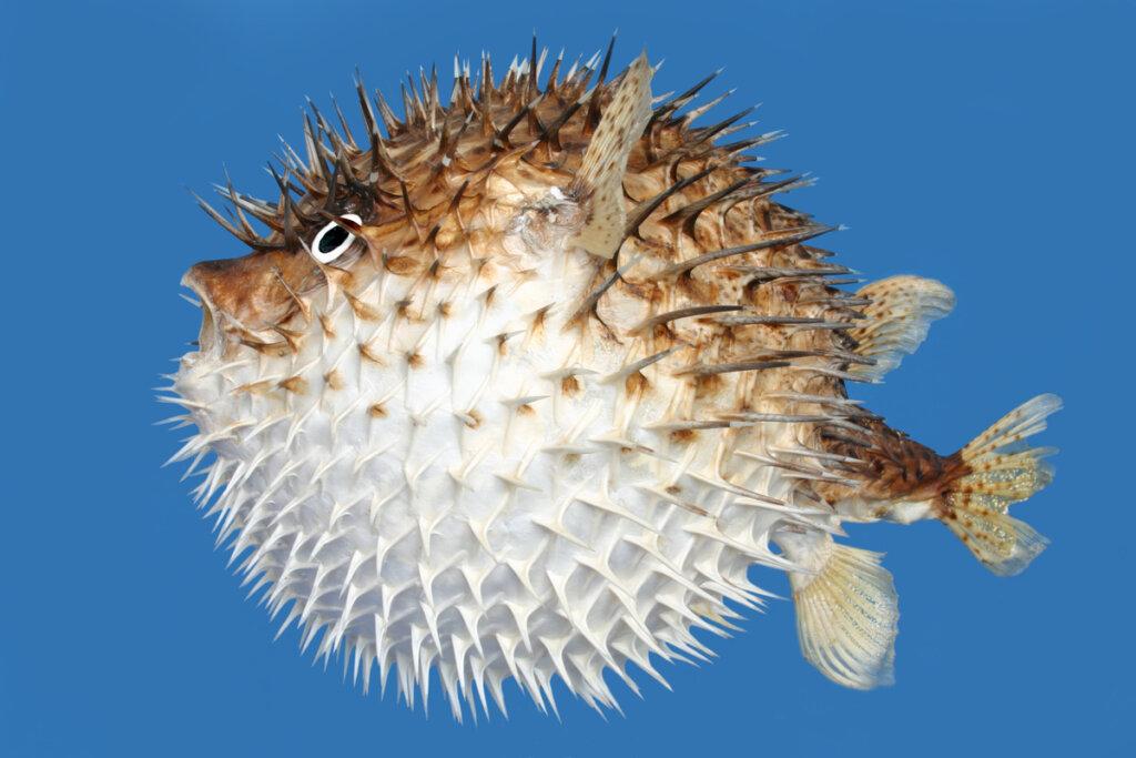 Tetraodóntidos: una familia de peces de mar y agua dulce