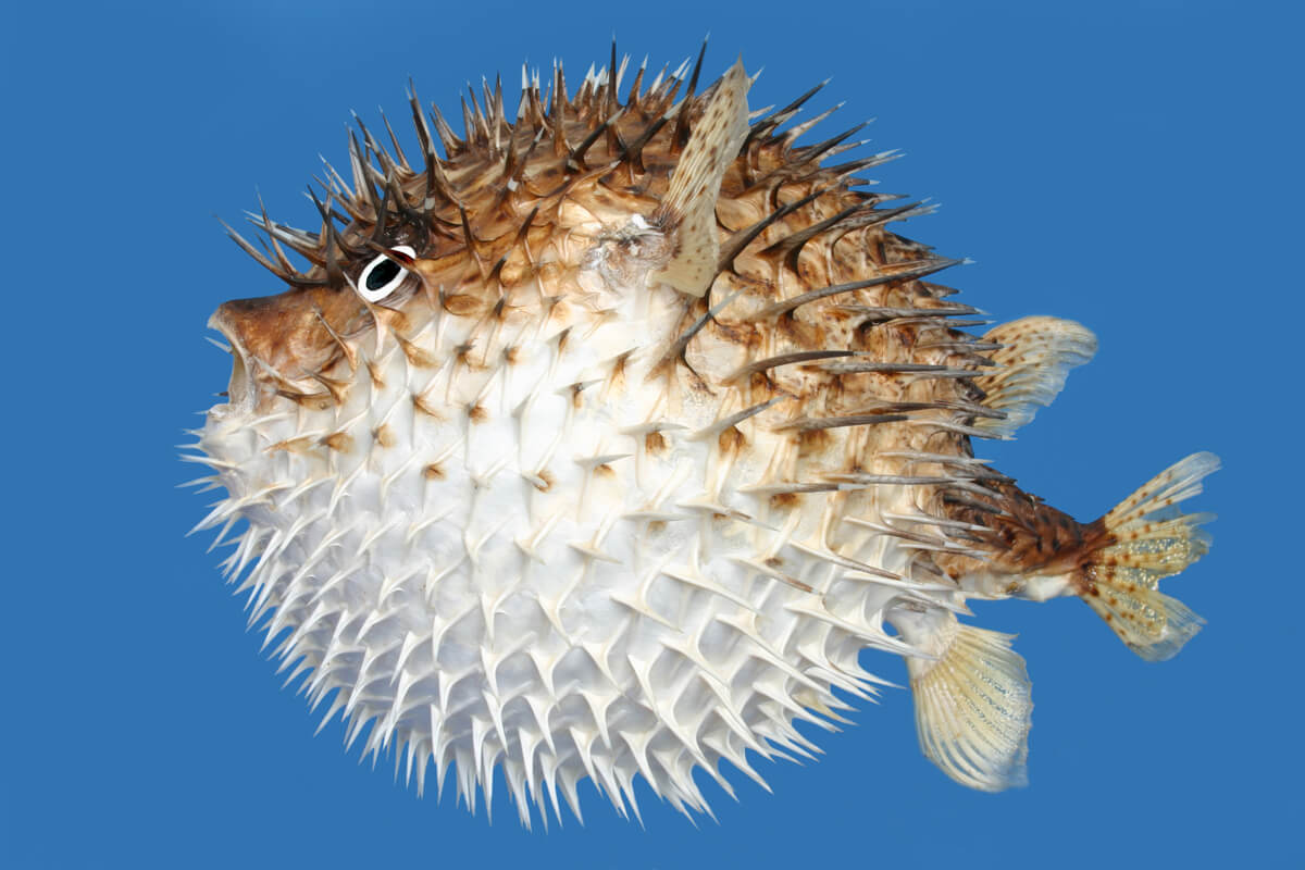 Il pesce palla fa parte dei tetraodontidi.