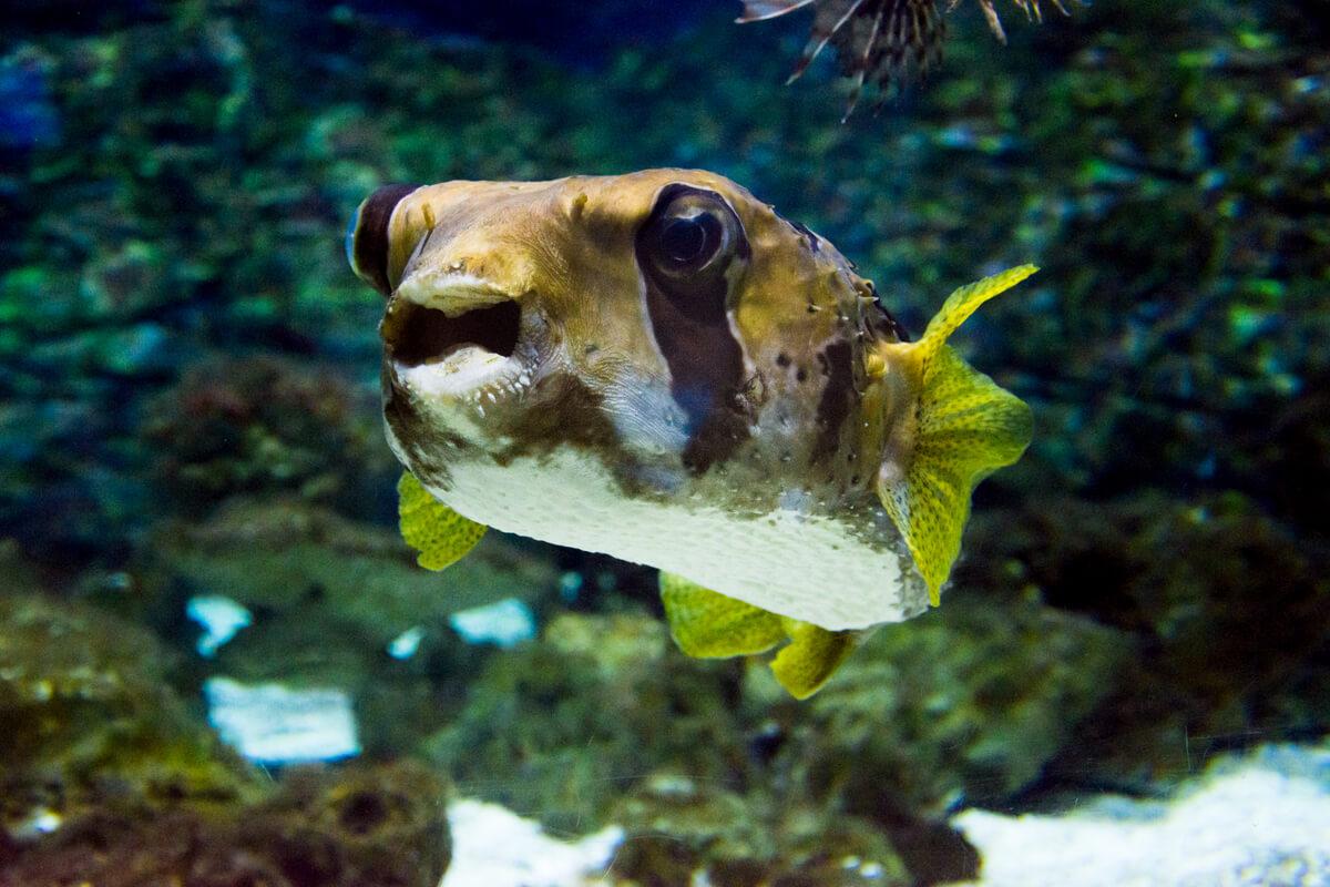 Un pez globo marino.