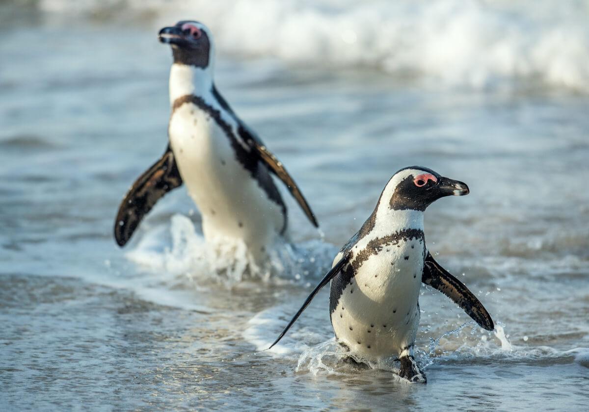 Los pinguinos Los pingüinos africanos son simpáticos.