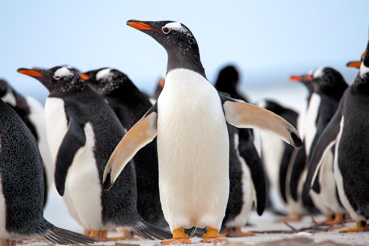 Un pingüino juanito.