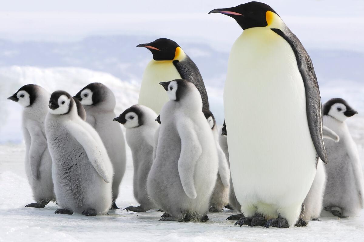Los pingüinos más grandes del mundo.