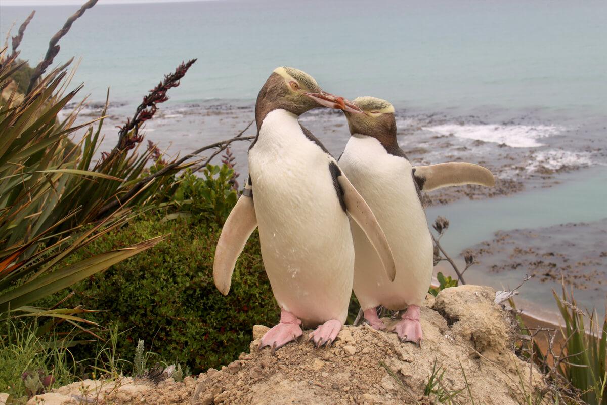 Los pingüinos de ojos amarillos son bellos.
