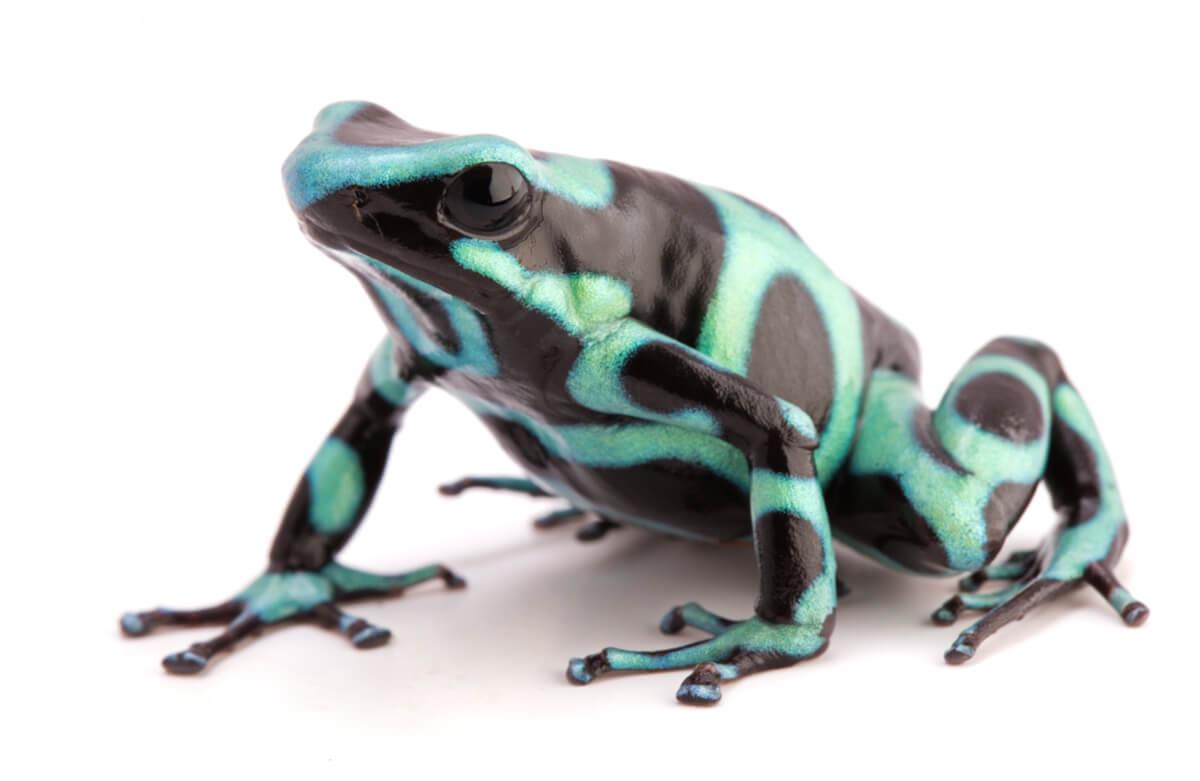 Una rana dendrobates azul.