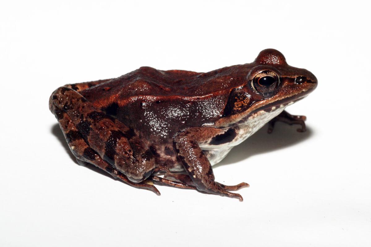 Una rana de madera sobre un fondo blanco.