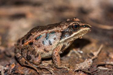 La rana de la madera: ¿se congela para sobrevivir?