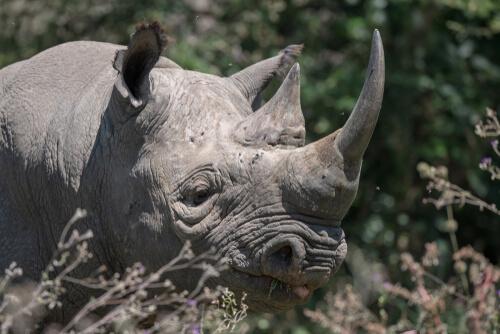 El rinoceronte negro occidental: una subespecie extinta