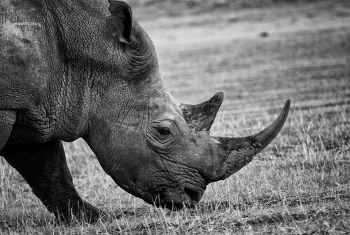 Rinoceronte negro con filtro.