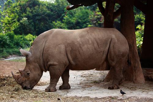 Rinoceronte negro en su hábitat natural.