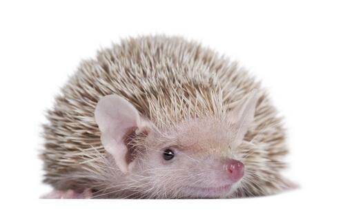 Los tenrecs: paradigma de los mamíferos placentarios