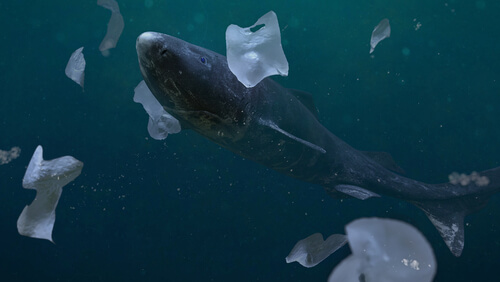 El tiburón más longevo del mundo.