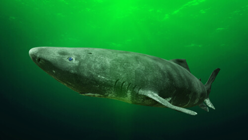 El tiburón de Groenlandia: el más longevo del mundo