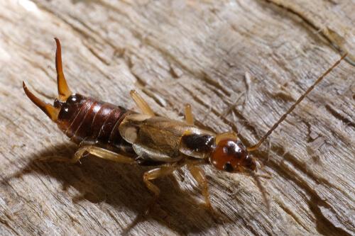 Cuidado parental en insectos