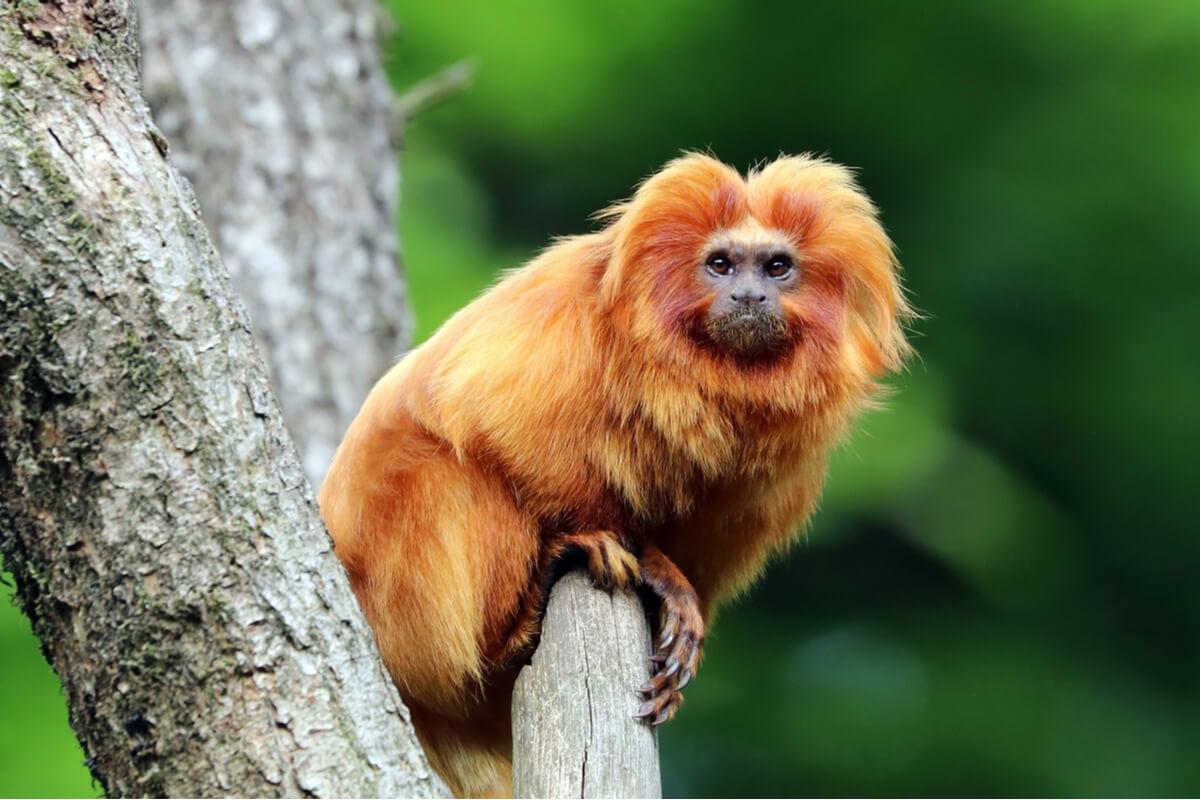 Un mono tití.