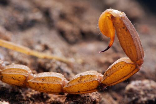 Un aguijón de escorpión.