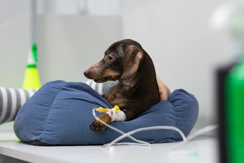 Anestesia en mascotas: ¿cuándo usarla?