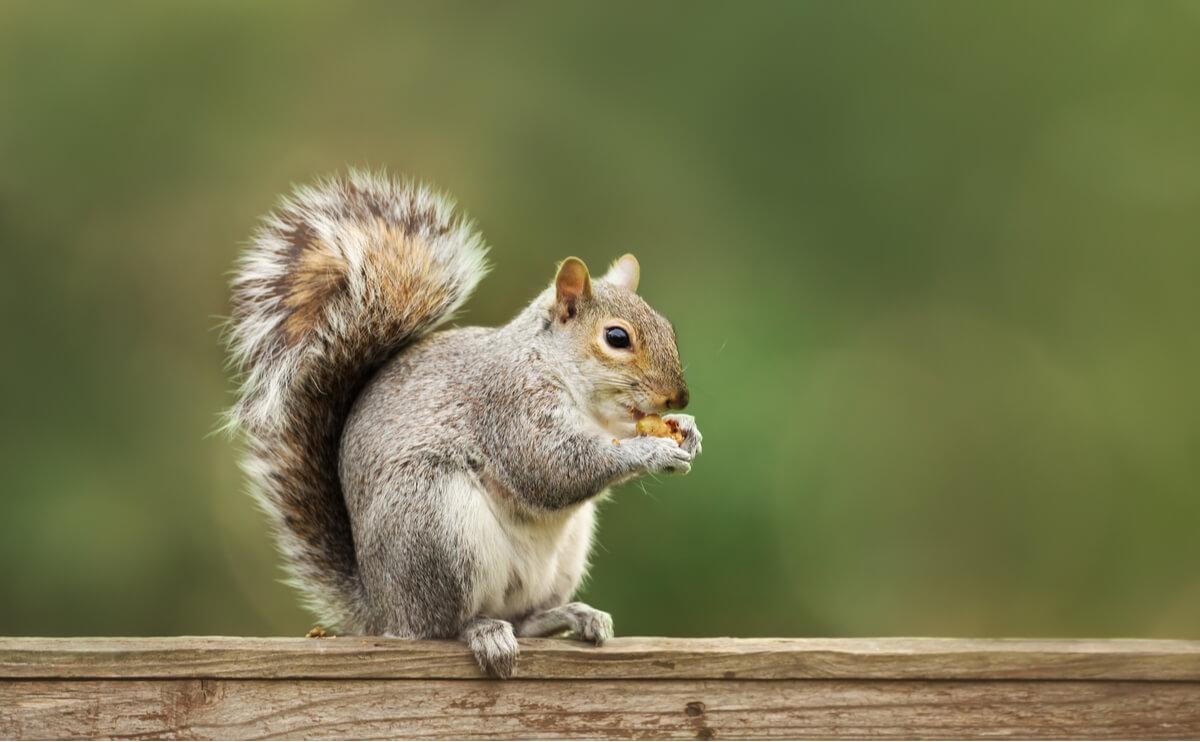 La ardilla gris es uno de los animales que ayudan a regenerar los bosques.