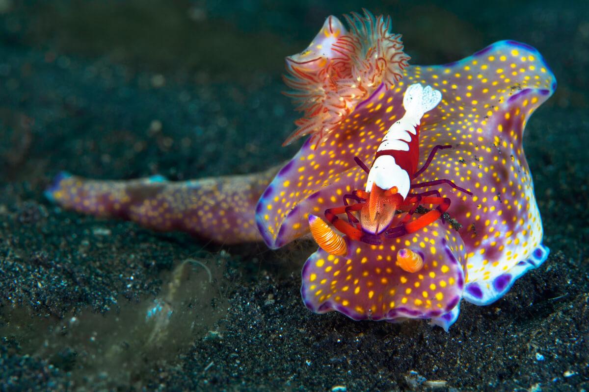 Un nudibranquio con un camarón en la cabeza.