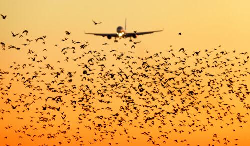 El uso de aves de caza en aeropuertos.