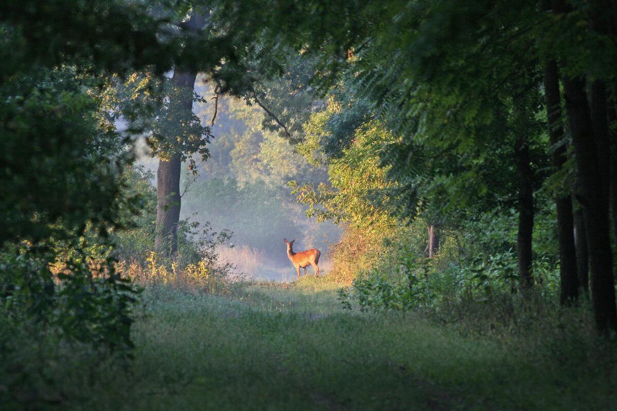 Un ciervo en un bosque.