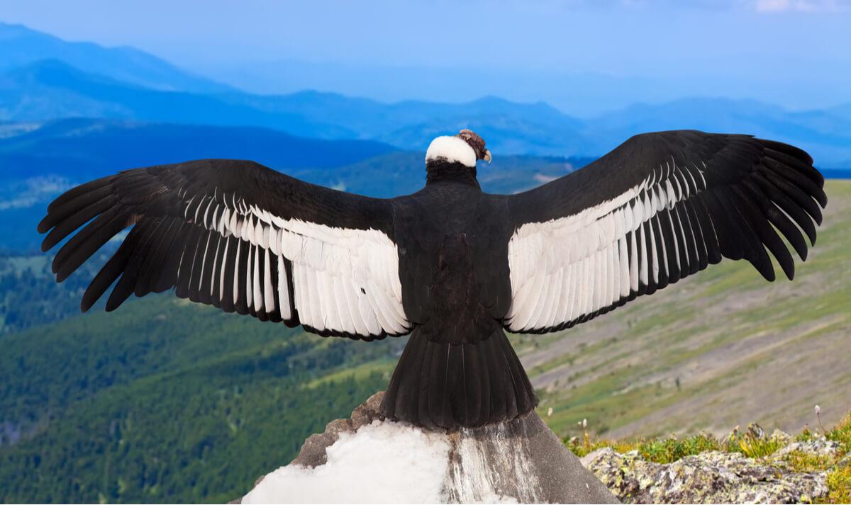Un cóndor andino con las alas desplegadas.