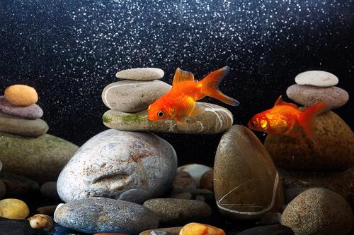 Enfriar el agua del acuario es esencial para el bienestar de muchos peces.