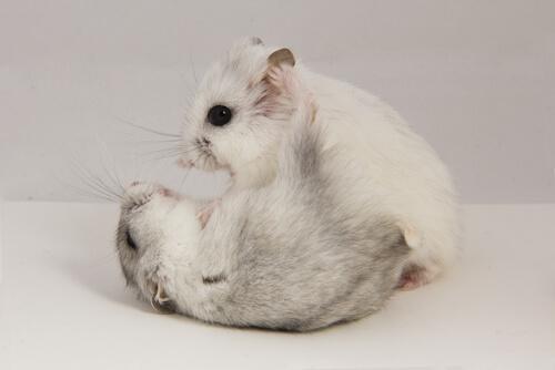 La territorialidad en pequeños mamíferos puede ser muy marcada.