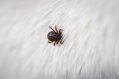 Los parásitos en mascotas pueden acarrear diversas enfermedades.