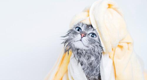Un gato que se va a bañar.