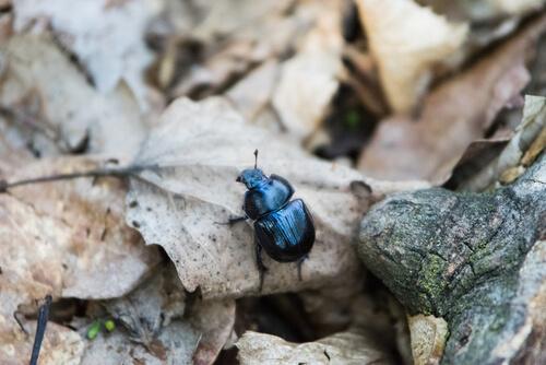 Los animales coprófagos están compuestos mayoritariamente por escarabajos.