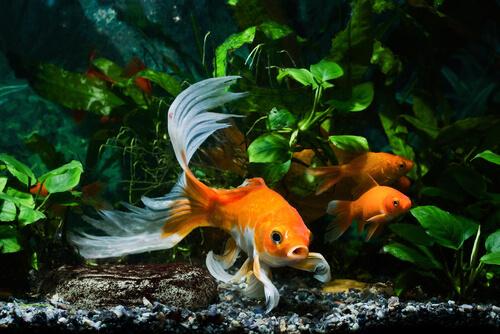 ¿Cómo enfriar el agua del acuario para peces de agua fría?