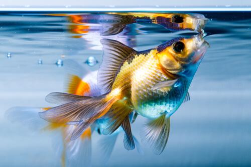 Un goldfish cogiendo aire.
