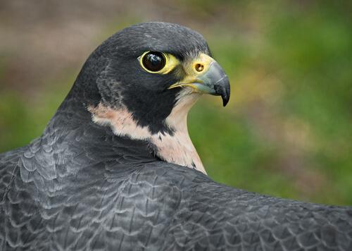El halcón peregrino: una especie cosmopolita