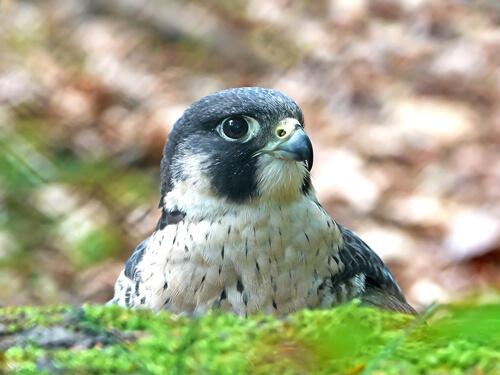 Un halcón peregrino de cerca.