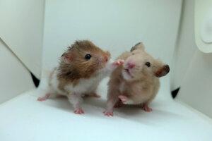 Territorialidad en pequeños mamíferos domésticos
