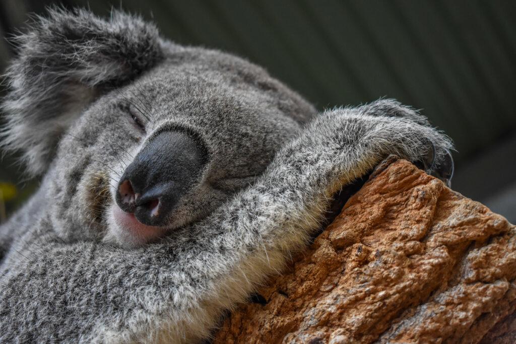 El koala: un maestro de la adaptación al entorno