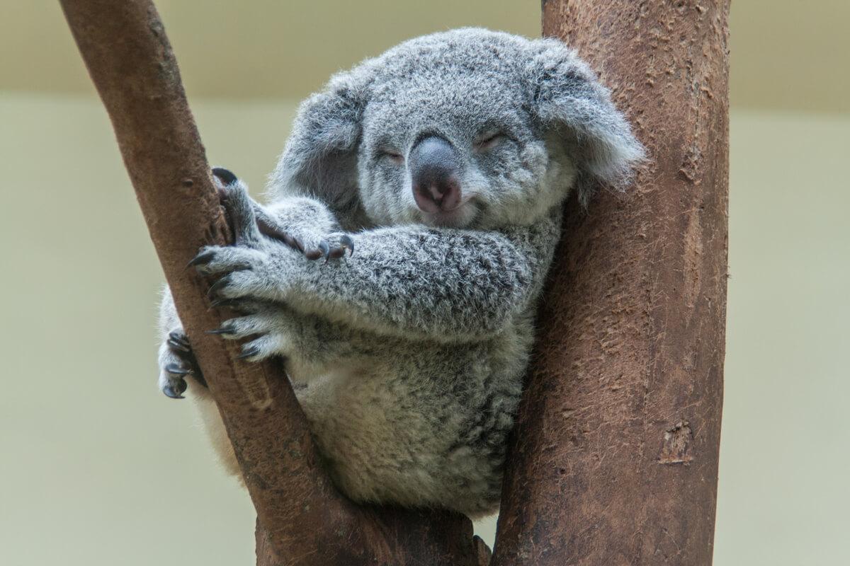 Un koala apoyado en una rama.