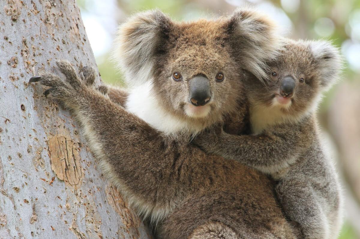 Un koala con una cría en un árbol.