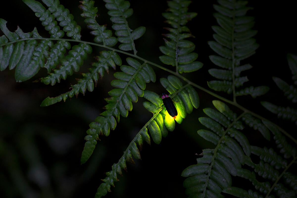 Los lampíridos emiten luz.