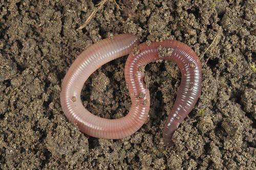 Los invertebrados son esenciales en el reciclaje de los suelos.
