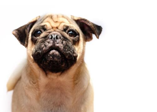 Un perro con acné mira a cámara.